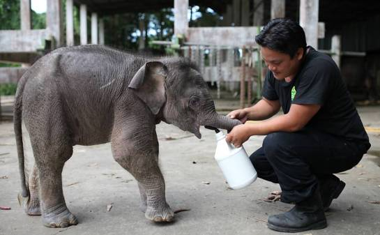 Oficial cuida de bebê elefante em zoológico da cidade de Sabah, na Malásia